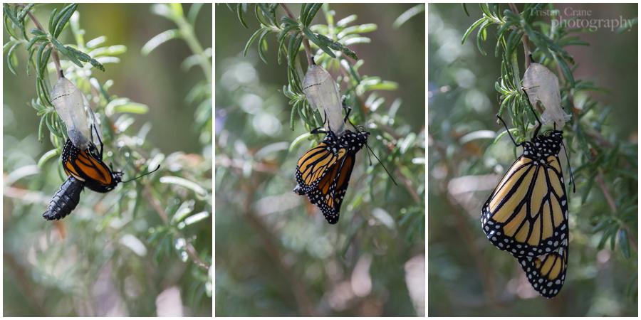 Monarch_0148