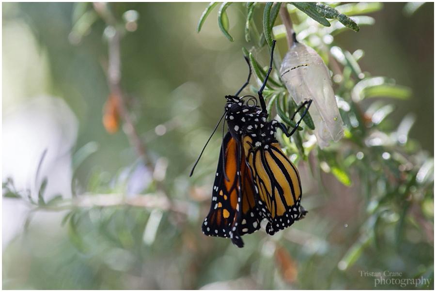 Monarch_0149