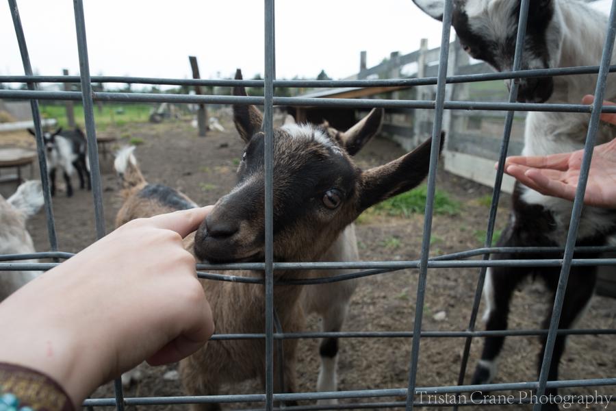 Goats_DSCF4473