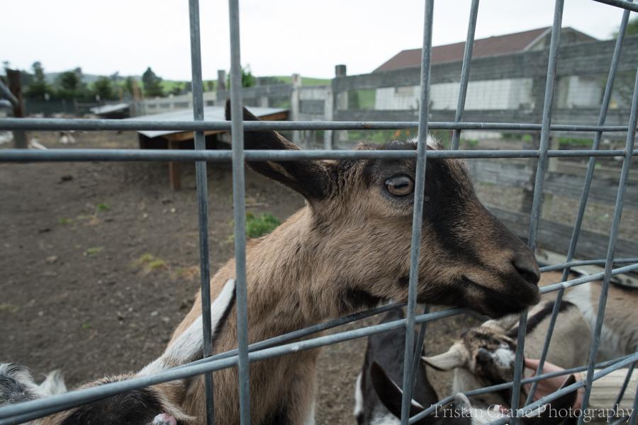 Goats_DSCF4479