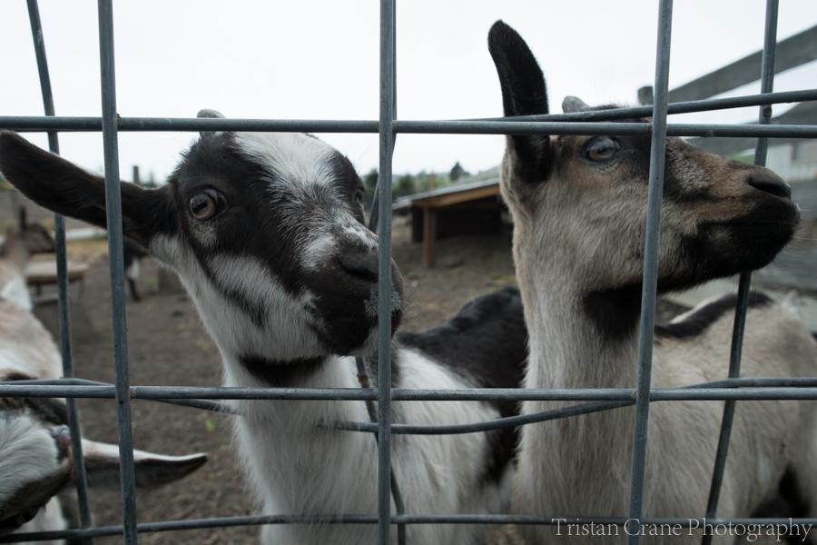 Goats_DSCF4485