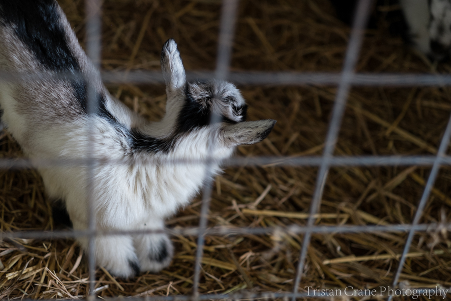 Goats_DSCF4515