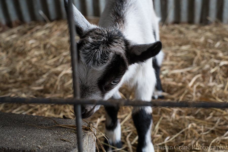 Goats_DSCF4538